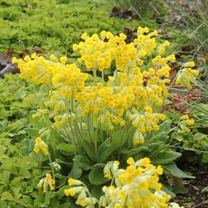 Gullviva, Primula veris 'Cabrillo'
