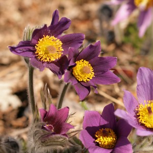 Backsippa, Pulsatilla vulgaris