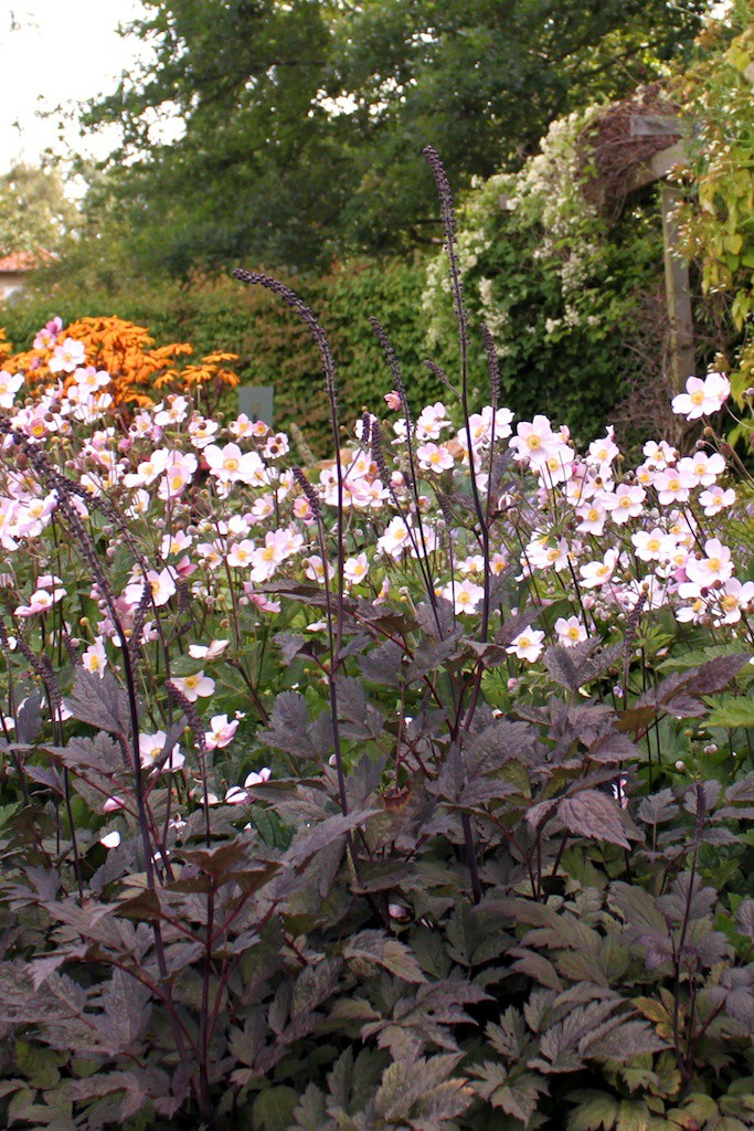 Actaea simplex 'Brunette'