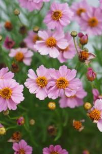 Coreopsis TWINKLEBELLS PINK 'Uritw02'. Ögonblom. Ingår i en serie lekfulla Coreopsis med otrolig blomvillighet med många små klara blommor. TWINKLEBELLS PINK är ljust rosa, kompakt buskig och blir 30 cm hög. Blommar juni till september. Fin i mixade rabatter, som kantväxt och i kruka.