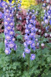Delphinium HIGHLANDER BOLERO har jättelika fluffiga spiror med dubbla blommor i blåviolett och vitt. Svenskt namn är trädgårdsriddarsporre. Blir knappt 90 cm hög, är stabil och blommar juli till augusti. Är ståtlig att ta in som snittblomma.