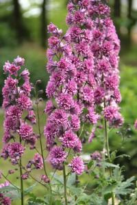 Delphinium HIGHLANDER FLAMENCO. En ny trädgårdsriddarsporre som med rödvioletta spiror med dubbla blommor har både den gammeldags charmen och modern touch. Den är kompakt och stabil, blir knappt 90 cm hög. Blomtid juli till augusti.