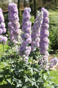 Delphinium HIGHLANDER MOONLIGHT. En romantisk dröm med stora fluffiga spiror i ljust violett och ljusblått i dubbla blommor. Blommar juli till augusti. Denna trädgårdsriddarsporre är kompakt och stabil, blir knappt 90 cm hög och klarar sig utan stöd