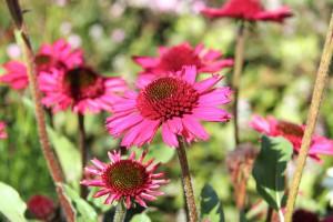 Echinacea DELICIOUS CANDY. En läcker solhatt i mörkt rödrosa med halvfylld pom-pom mitt. Är kompakt och blir 50 cm hög. Echinacea DELICIOUS CANDY är iögonfallande och en av de bästa nyheterna av solhattar med stor blomvillighet och trevligt kompakt växtsätt. Fin i rabatter och naturlika prärieplanteringar. Blommorna gillas av fjärilar.