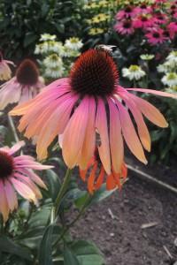 Echinacea 'Rainbow Marcella'. Uppseendeväckande stora tvåfärgade enkla blommor i rosa med ockragula spetsar. 'Rainbow Marcella' blommar länge och har ett stabilt växtsätt trots sin höjd på 80 cm. Den behåller sin färg till frosten kommer och vissna blomställningar ger struktur till vinterträdården och gillas av övervintrande fåglar.