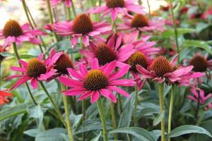 Echinacea 'Sunseekers Magenta'. En av flera solhattar i serien Sunseekers. 'Sunseekers Magenta' är välförgrenad och blomrik i rosarött. Ca 50 cm hög, buskigt växtsätt. Fin i rabatter, naturlika prärieplanteringar och till snitt. Blommorna gillas av fjärilar. I samma serie finns också färgerna orange, röd, vit och gul.