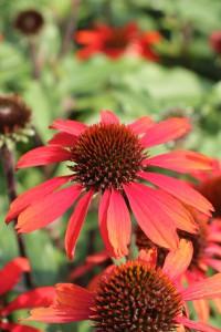 Echinacea 'Sunseekers Orange'. Varma rödorange blommor på stabila stjälkar. 'Sunseekers Orange' blir 50 cm hög och som andra sorter i serien har den ett buskigt växtsätt och riklig blomning. I serien Sunseekers finns även färgerna röd, vit och gul. Att regelbundet plocka bort vissna blommor gynnar ny knoppsättning.