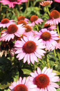 Echinacea 'Sunseekers Pink' En av flera sorter i serien Sunseekers. 'Sunseekers Pink' är välförgrenad och har ett kompakt växtsätt, blir 50 cm. Sorten är blomrik med ljust rosa blommor. Blommorna i serien Sunseekers är färgstarka i säsongen. Fin i rabatter, naturlika prärieplanteringar och till snitt. Blommorna gillas av fjärilar.