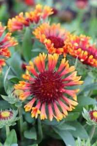 Gaillardia grandiflora 'Fanfar Blaze'. Kokardblomster. Blommor i varma brända orange toner. Värdefull för sin långa blomtid under sommaren, från juni till september. Den har ett kompakt växtsätt och blir 40 cm hög. 'Fanfar Blaze' är en färgstark sort för rabatt och kruka. Även fina långa stammar till snitt.