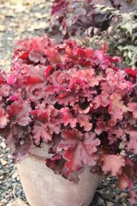 Heuchera 'Boysenberry'. Alunrot med varmt mahognyröda lite krispiga vågiga blad som är tät i växtsättet. Blommar i vitt juni till augusti. Dekorativ större delen av året i rabatt och kruka. Utmärkt kantväxt och marktäckare. Bladverket blir 30 cm högt och håller sin fina färg oavsett väderlek.