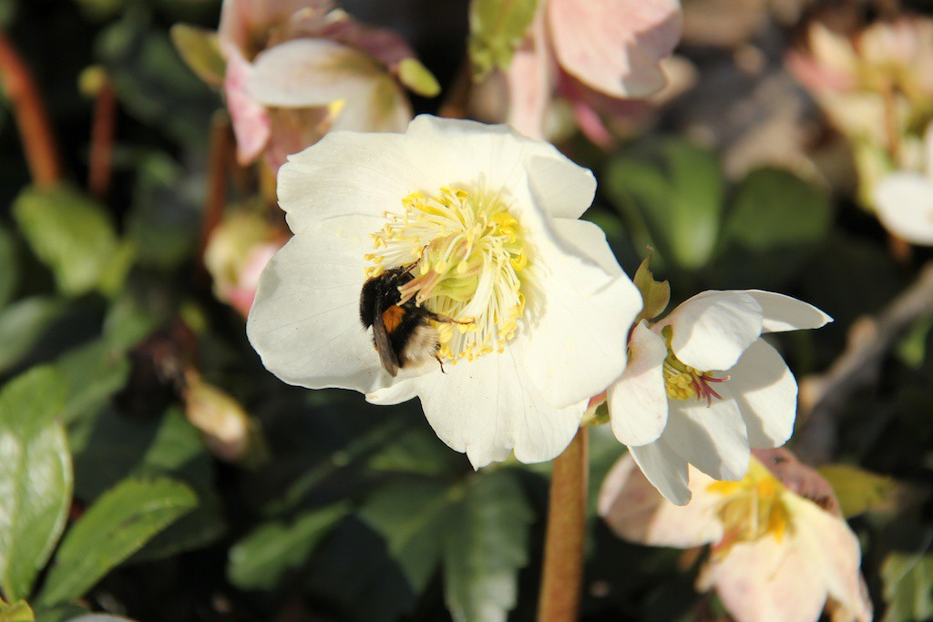 De tidiga vårperennerna är speciellt viktiga för att de övervintrade humledrottningarna ska hitta mat då. Julrosor är de som blommar allra först, redan under vårvintern.