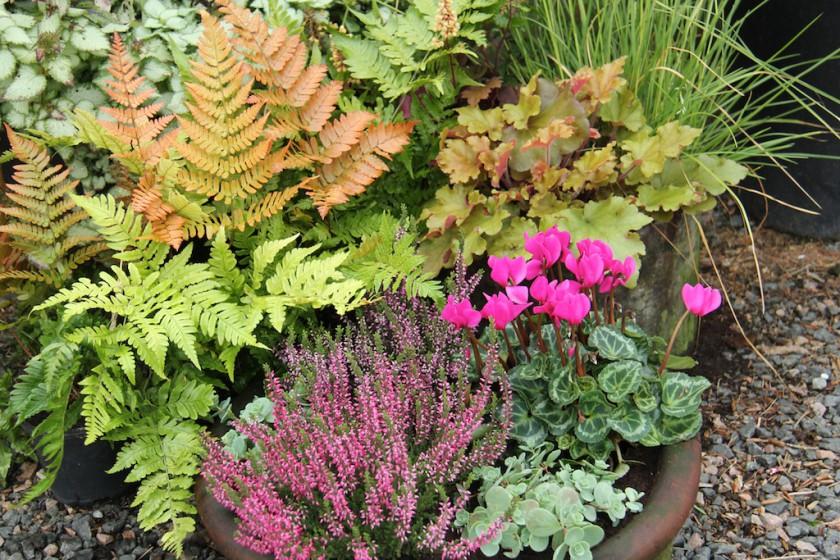 Färgstarka höstväxter i kruka