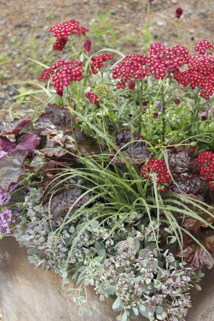 Höstig kruka med liten kärleksört, rödbladig alunrot, röllika och silverfryle.