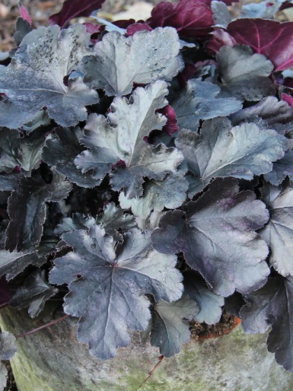 Heuchera 'Black Pearl' 2L