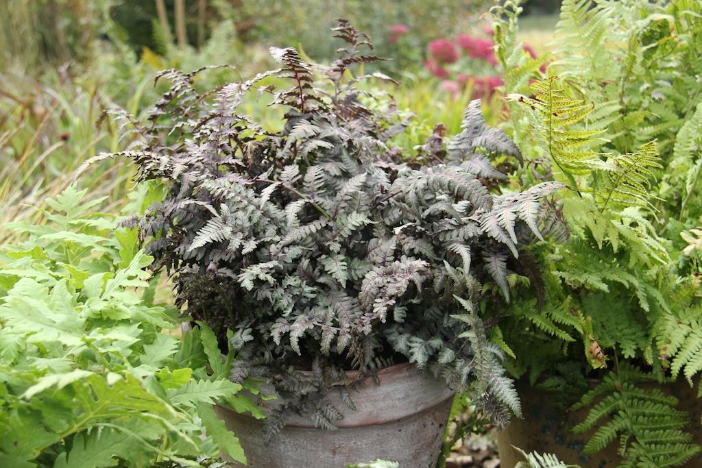 Athyrium niponicum 'Burgundy Lace'
