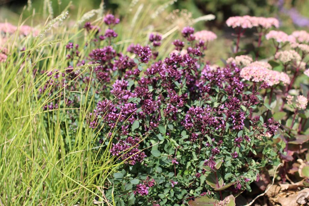 Purpurmejram 'Herrenhausen' har mjuka färger som är fina tillsammans med många andra perenner. Här är den ihop med sirligt gräs och mörk kärleksört av sorten 'Matrona'.