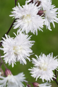 Lychnis flos-cuculi 'Petit Henri'. Gökblomster. Sedan tidigare känner vi omtyckta PETITE JENNY, 'Petit Henri' är en vit sort med samma fina egenskaper. Med sitt upprätta sirliga växtsätt är den ljuvlig fyllnad i rabatter. Blommar rikligt och länge från juni till augusti. 40 cm hög. Älskas av fjärilar.