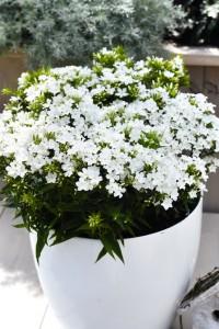 Phlox paniculata 'Early White'. Höstflox. En av sorterna i serien Early som blommar tidigare än andra traditionella sorter av Phlox paniculata. Redan i juni till juli. 'Early White' blommar rikligt med små rent vita väldoftande blommor. Den är kompakt, 40 cm. Ett av sommarens blickfång.