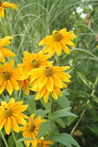 Rudbeckia hirta pul. 'Sunbeckia Olivia'. Sommarrudbeckia. Blommar så länge som från juni till oktober med härligt stora gula blommor med grön mitt. Upprätta stammar och blir 50 cm hög. Passar bra i rabatter och naturlika planteringar och mycket fin som snittblomma i buketter. Uppskattas av fjärilar.