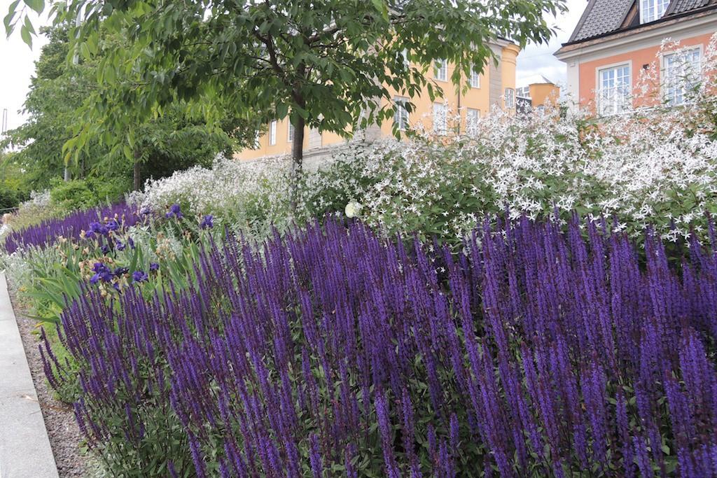 Effektfullt med intensivt blåviolett stäppsalvia tillsammans med gillenia. Stäpsalvia passar i stora sjok och i mindre rabatter. Det finns sorter med olika höjd och blå och violetta färgnyanser, även i rosa och vitt.