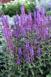 Salvia nemorosa 'Caramia' är så mycket som en ny stäppsalvia med mörkvioletta blomstänglar. Den populära sorten 'Caradonna' får härmed en utmanare som bryter bättre och är mycket blomvillig. Den är kompakt och blir 40 cm och blommar i juni till september.