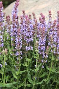 Salvia nemorosa 'Salute Ice Blue' är ett trevligt tillskott med sin ljusblå färg i en ny serie av stäppsalvior. De ljusblå blomstänglarna är jämna och den har ett kompakt växtsätt. Höjden är 40 cm och de blommar i juni till september. En favorit hos humlor och bin.