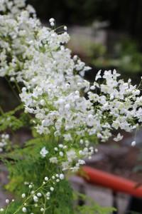 Thalictrum delavayi SPLENDIDE WHITE 'FR21034'. Violruta. En gracil perenn med vita yviga vippor. Violrutan har ett sirligt växtsätt och ger höjd till rabatter och woodland utan att bli för tät. Violruta SPLENDIDE WHITE blir ståtliga 150 cm hög och blommar juli till augusti. Fint aklejalikt bladverk.